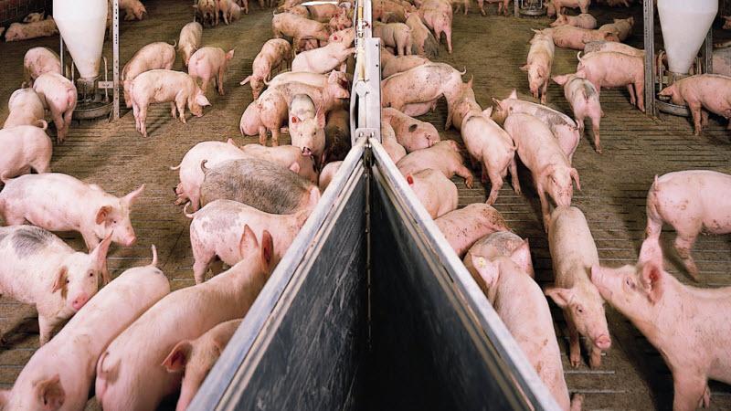Вирощування свиней