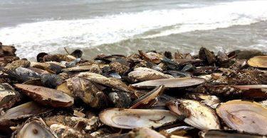 Понад 500 000 мідій зварилися живцем через глобальне потепління