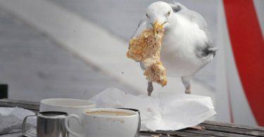 Чому чайки так ласі на недоїдки: нове дослідження
