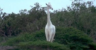 Білий жираф