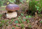 Чорнобильський гриб