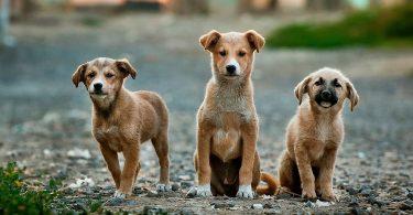 Названо собаки, які найбільше страждають від кастрації