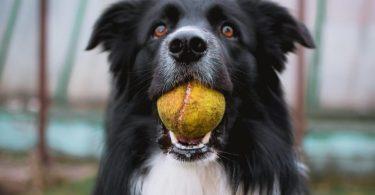 Виявилося, що собаки схильні до кризи середнього віку