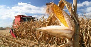 Врожай кукурудзи
